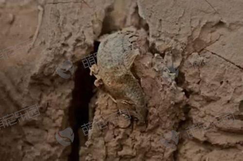 肺鱼如何在泥土中存活?